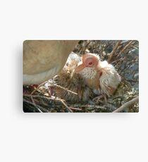 Pterodactyl - Beautiful-Ugly - Baby Collard Dove - NZ Canvas Print