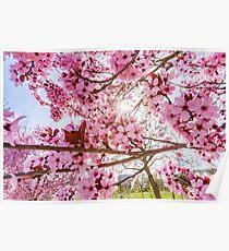 Pink sakura flowering in France, springtime, Obernai Poster