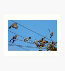 Seven - 7 House Sparrows - Southland NZ Art Print