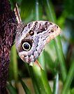 Owl Butterfly by Yukondick