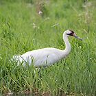 Whooping Crane 2017-2 by Thomas Young