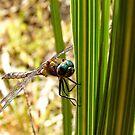 Voracious Predator - Bush Giant Dragon Fly - NZ by AndreaEL