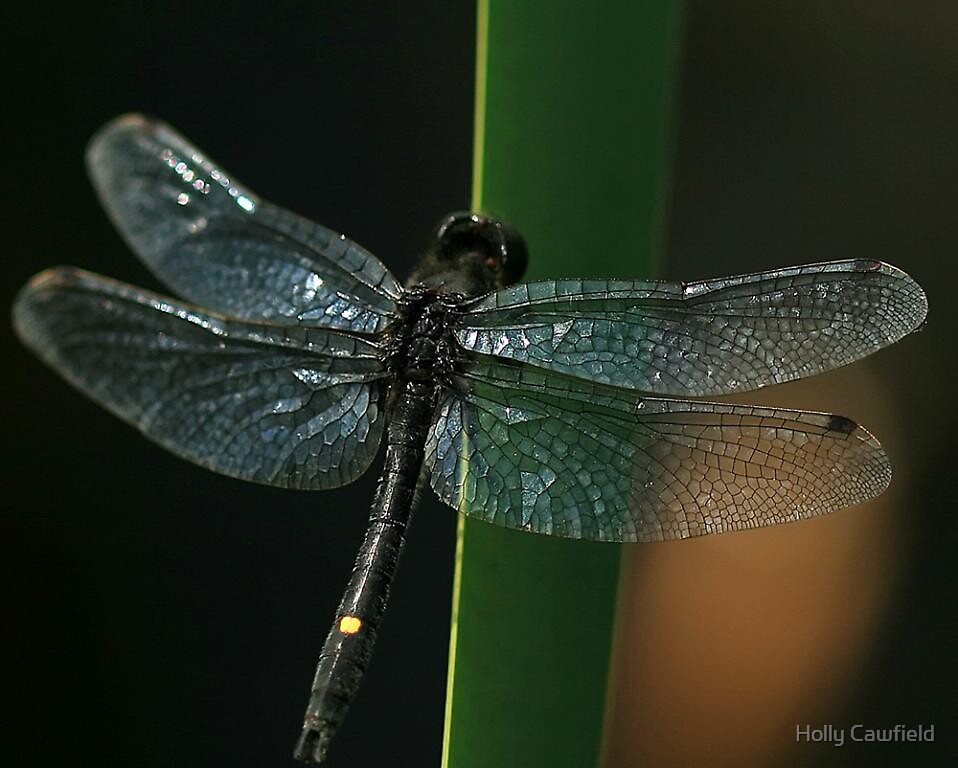 Dot-Tailed Whiteface Dragonfly by Holly Cawfield