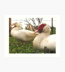 muscovy ducks Art Print