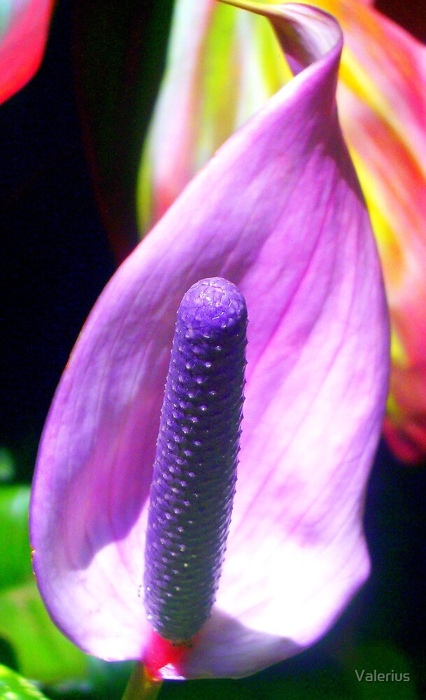 Proud In Purple by Valerius