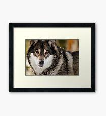 Wolf Gaze Framed Print