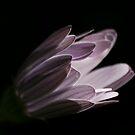 White flower 502 by João Castro