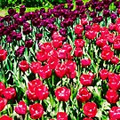 More Tulips from the garden by Shulie1