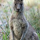 Eastern Grey Kangaroo - Australia by Mette  Spange