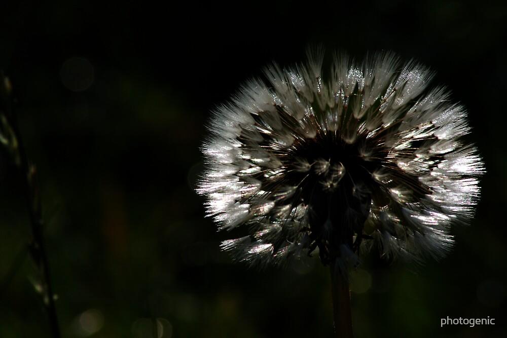 backlit dandelion by photogenic