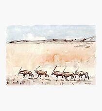Gemsbuck in the Kalahari Photographic Print