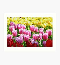 Colorful tulips in their full glory Art Print