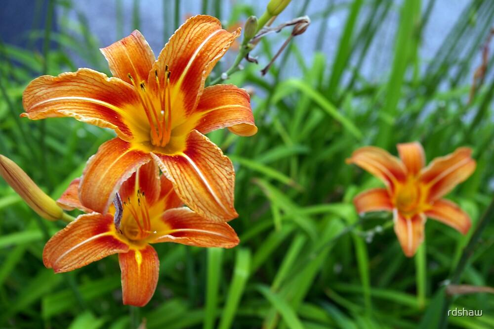 Daylilies by rdshaw