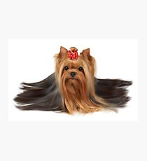 Cute Yorkshire Terrier Photographic Print