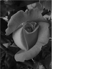 Black and White Rose  by Gemma27