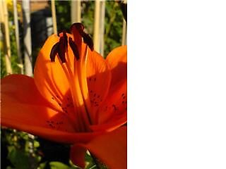 Orange Lily by Gemma27