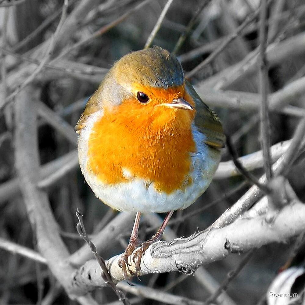 Robin by Roantrum