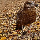 Pacific Gull by Peter Krause