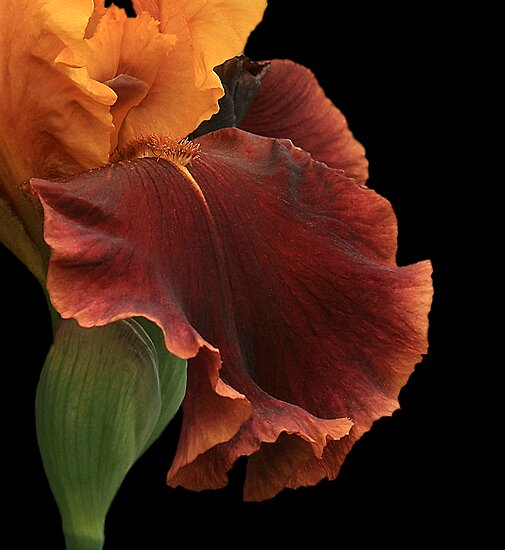 Bronze Iris by Holly Cawfield