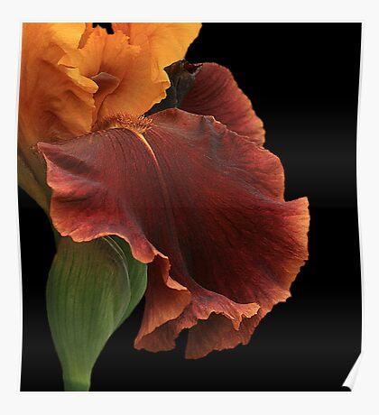 Bronze Iris Poster
