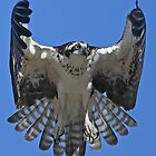 Hovering Osprey by jozi1