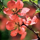Flowering Quince by T.J. Martin