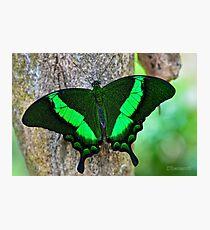 Emerald Swallowtail (Papilio Palinurus) Photographic Print