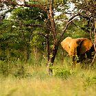Bull Elephant 2 by Sheila Smith