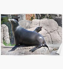 Funny Mama and Baby Sea Lions Poster