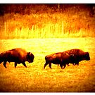 Buffalo  Roam by wallace66