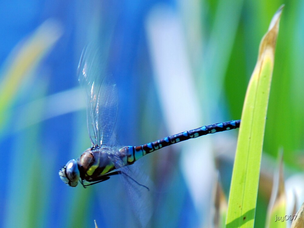 The Dragon Fly in motion. by jay007