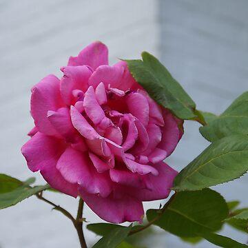 Queen Elisabeth Rose by Gilberte