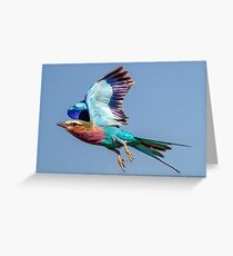 Lilac-breasted Roller in Flight Greeting Card