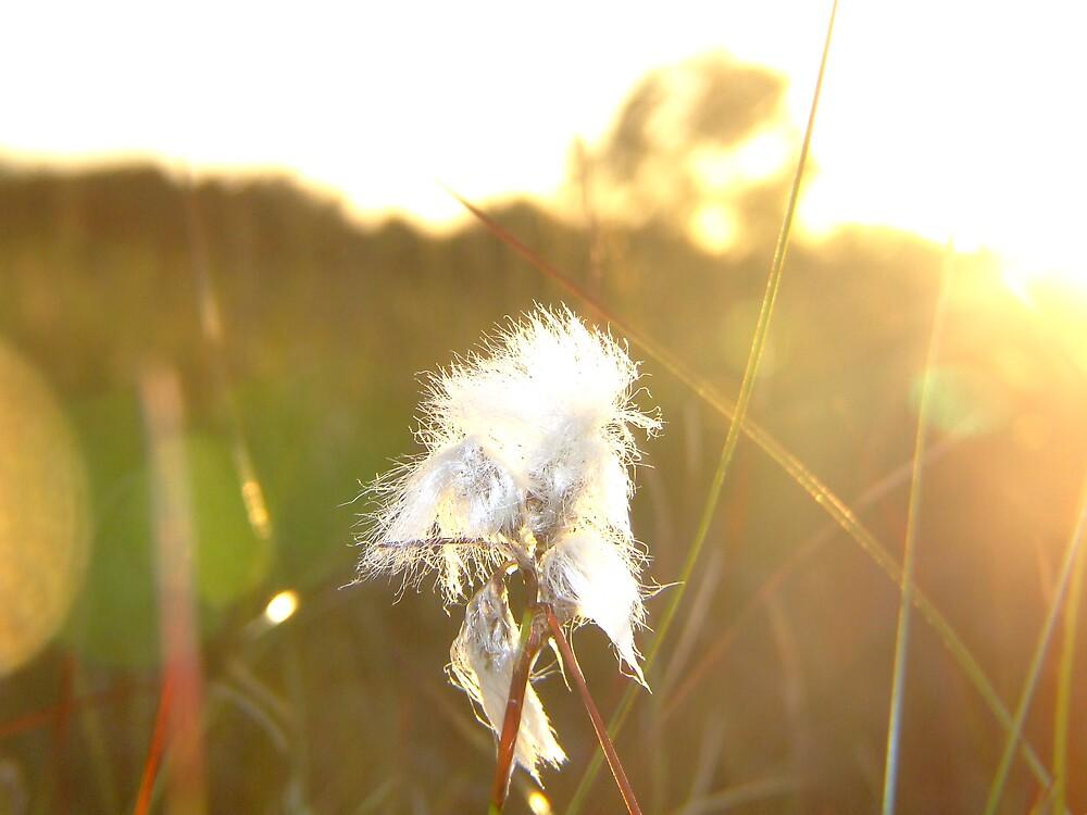 Bog cotton at sunset by Mark  O'Mahony