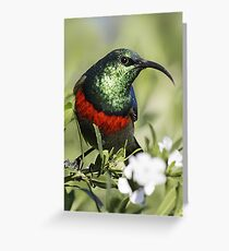 Double-collared Sunbird, South Africa Greeting Card