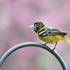 Female Oriole by Laurie Minor