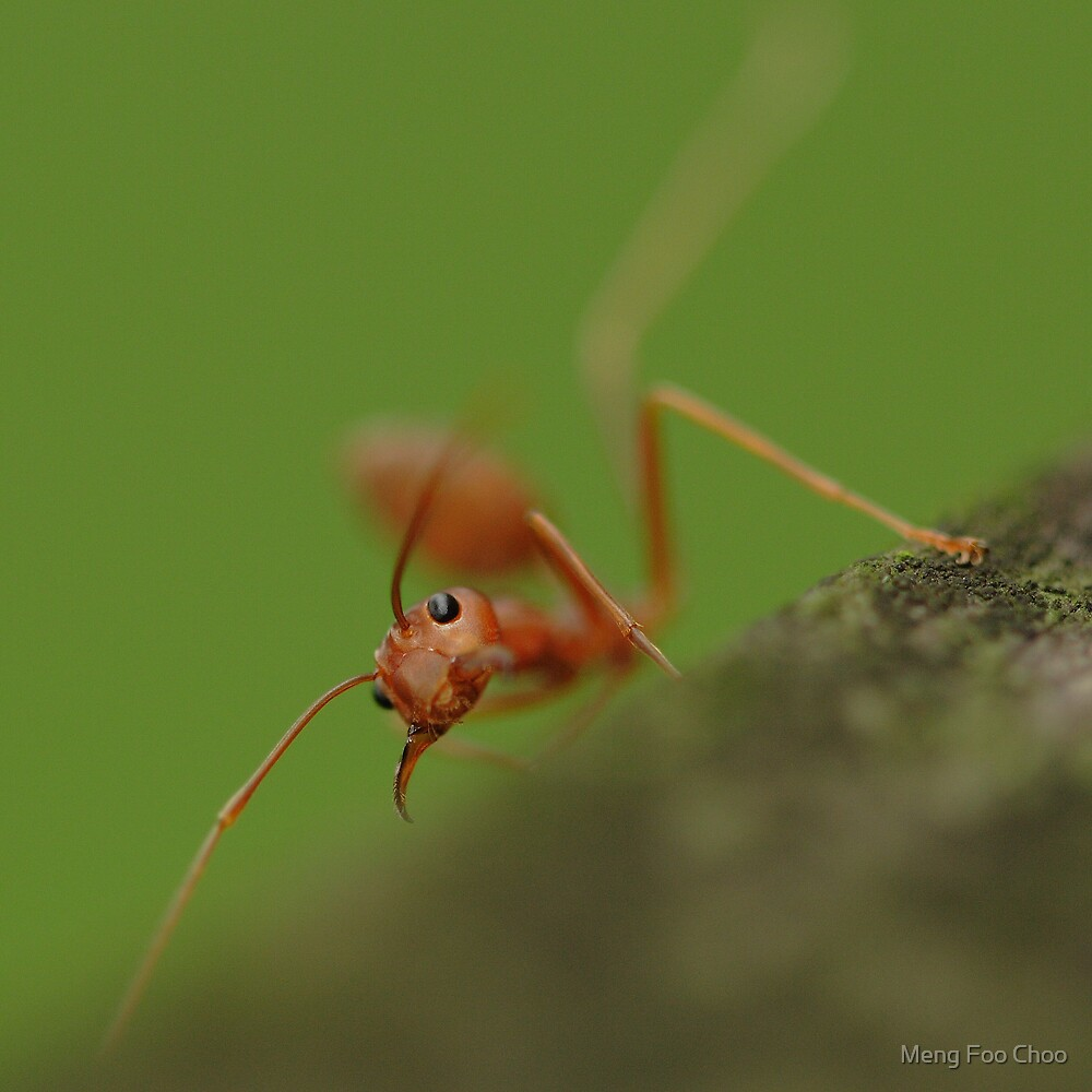 Red Ant snaring by Meng Foo Choo