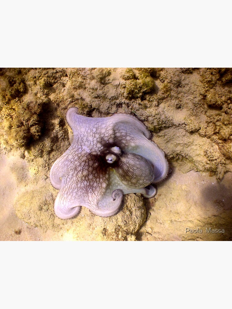 octopus color by massapa