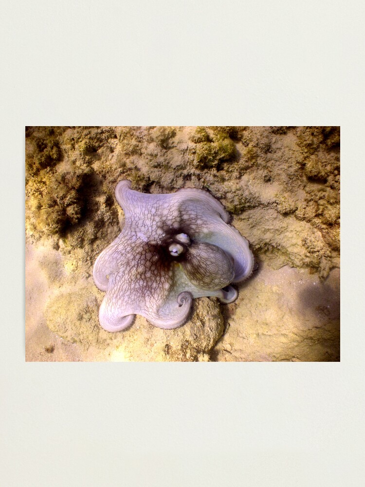 Alternate view of octopus color Photographic Print