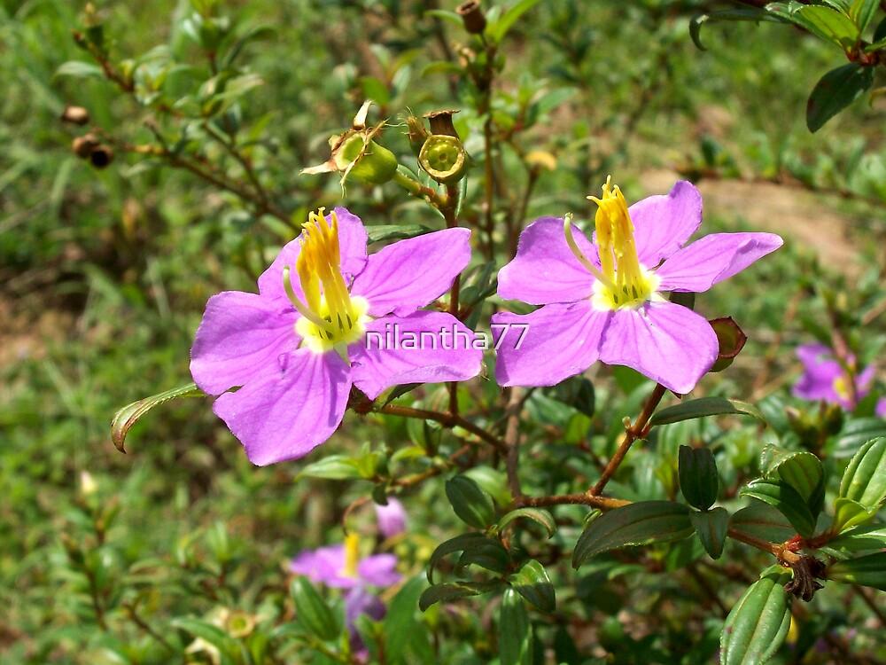 bovitiya flower  by nilantha77