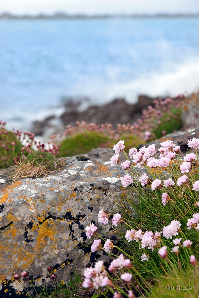 pink coastal wildflowers by morrbyte