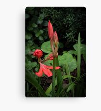Red Scarborough Lily Flower Leith Park Victoria 20170412 1634  Canvas Print