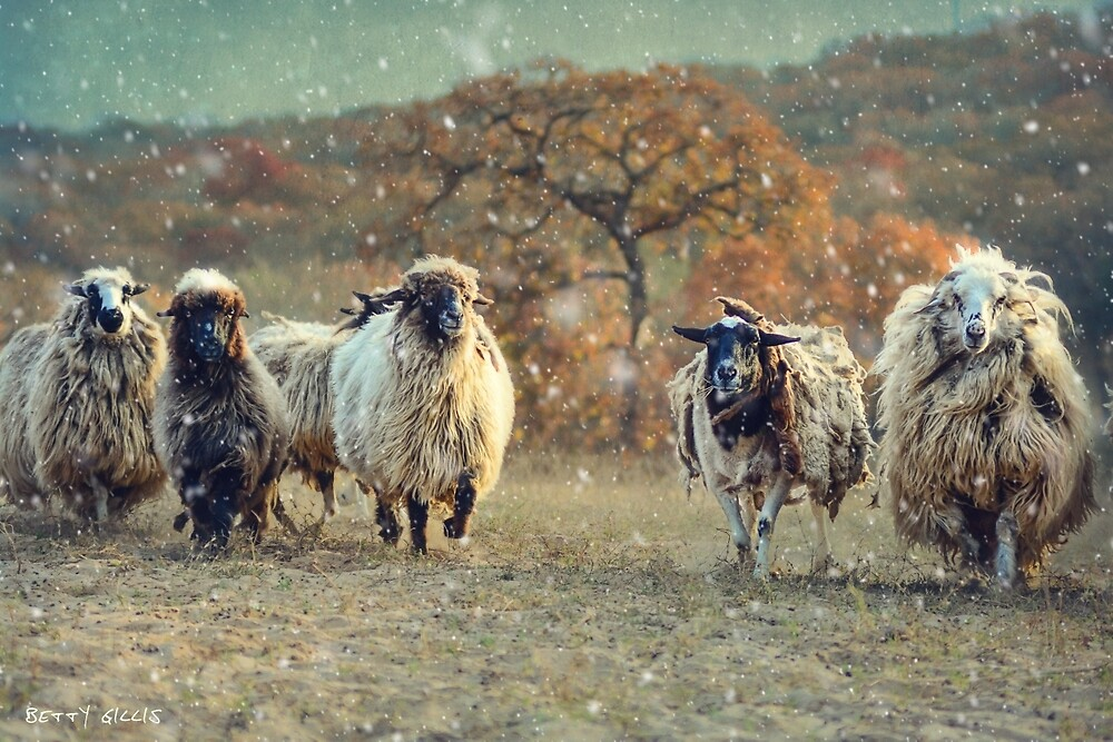 Dashing through the snow 2 by Texas Sheepdogs