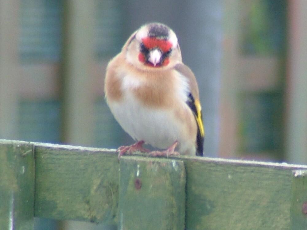 Goldfinch by Mark  O'Mahony