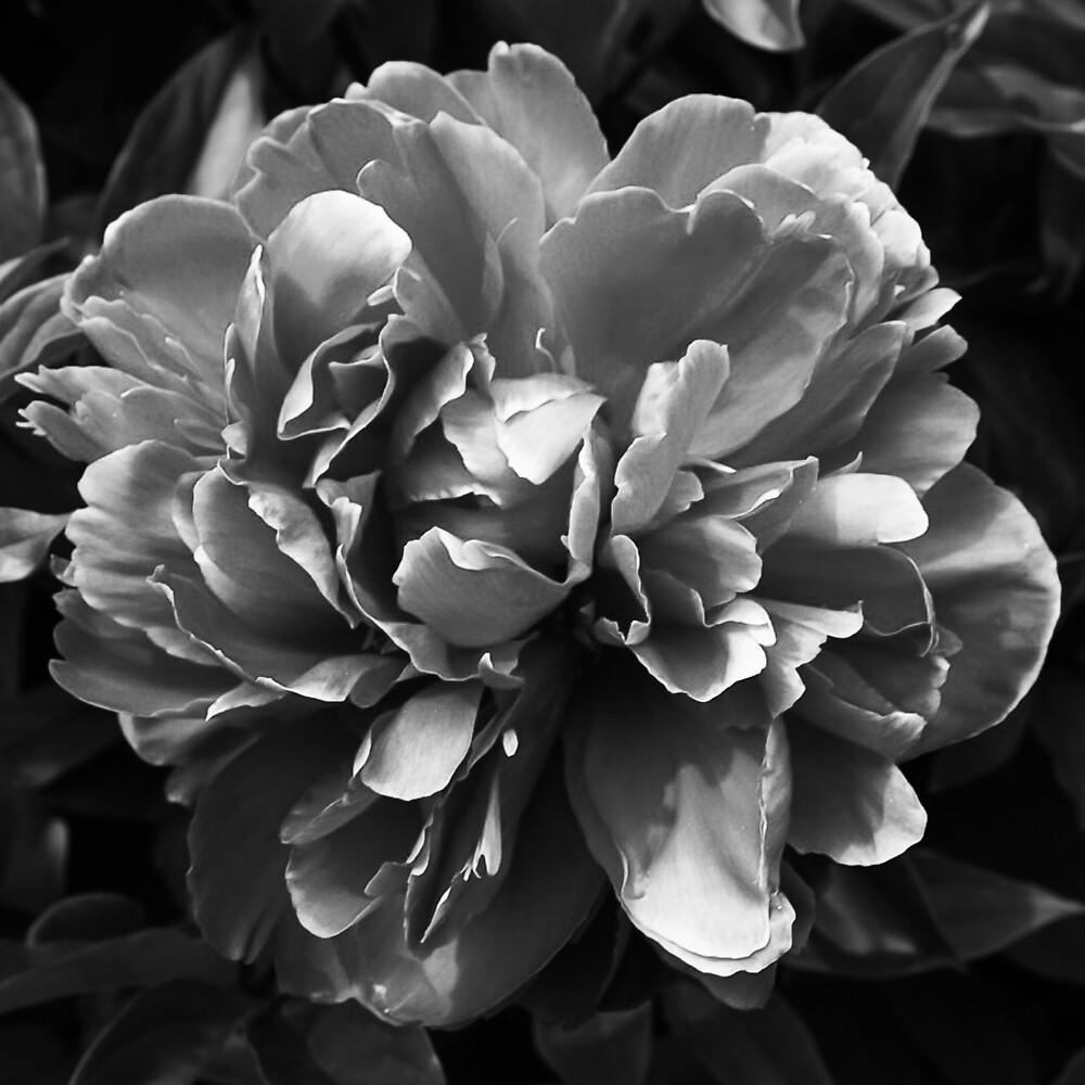 Vintage Peony Bloom II by Jacqueline Cooper