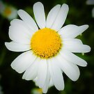 Daisy Power II by Jacqueline Cooper