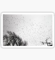 Starlings in B&W Sticker