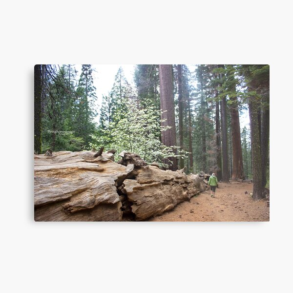 Yosemite - Tuolumne Grove of Giant Sequoias 2017 Metal Print