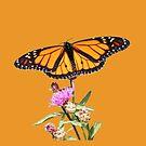 Male Monarch Butterfly by hummingbirds