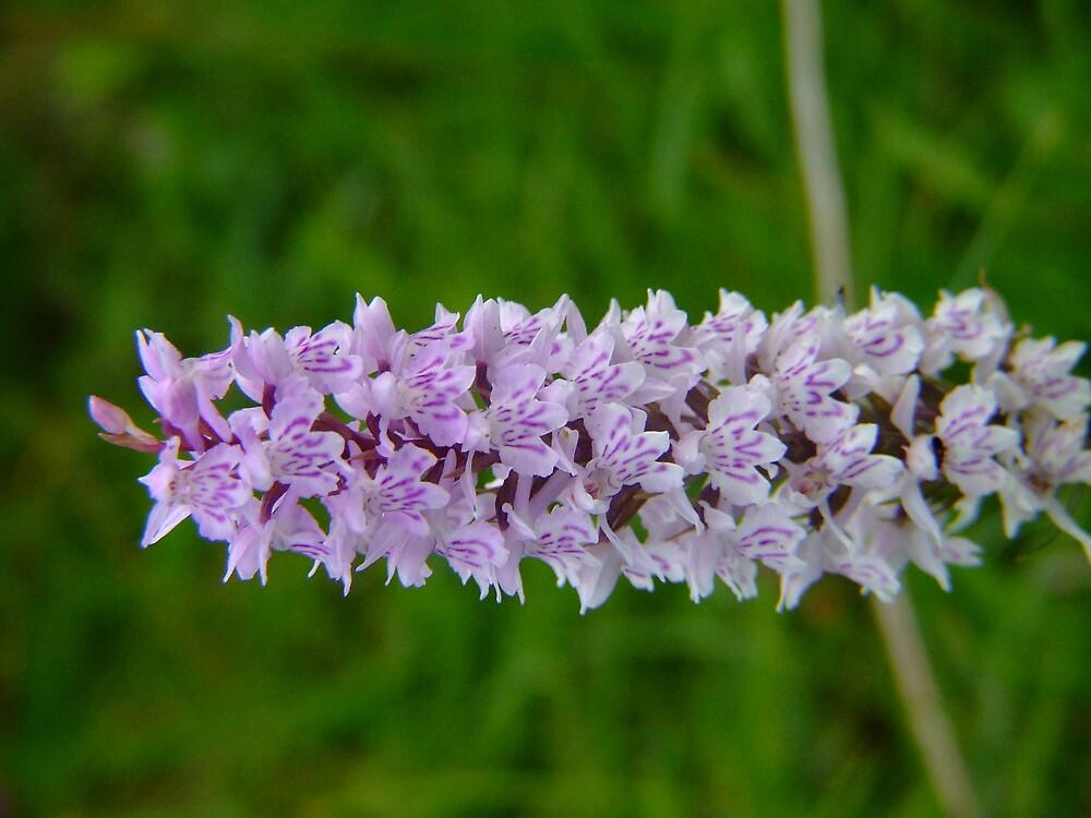 Irish Marsh Orchid by Mark  O'Mahony